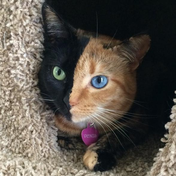 RT @KatieLinendoll: Meet latest internet cat sensation, Venus. A chimera: one organism composed of genetically distinct cells via @PopSci http://t.co/r1OzqgsfXa