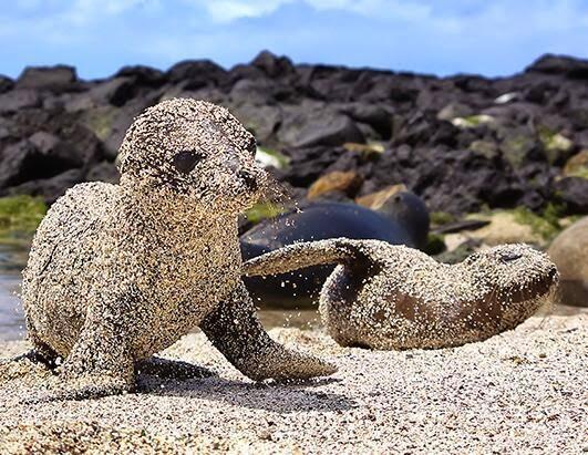 Sea Lion pups roll in sand to protect themselves from the sun http://t.co/2LMK3NeHyP