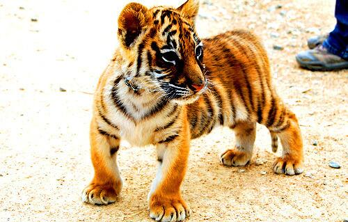 """@ANIMALPlCTURES: Cute tiger cub. http://t.co/kjS8P2IN8y"""