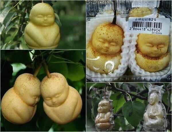 A farmer in China grows Buddha-shaped pears! http://t.co/4C4l6fxy0x