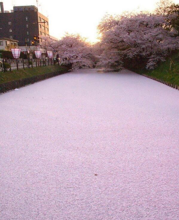 Japanese river filled with cherry blossom petals: http://t.co/2VtdOdDjyG