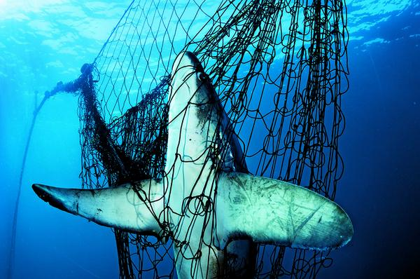 Most sharks, like this thresher, are extremely vulnerable in the wild and not a threat to humans #SharkAwarenessDay http://t.co/nzs2A096Kl