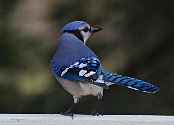 - Blue Jay -  http://t.co/zdTMYZNXz7 - #birds #birding - http://t.co/eKNjXCkBZL