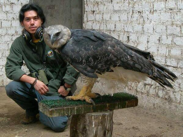 This is a Harpy eagle. The largest eagle in the world http://t.co/Di6yMcTfdW