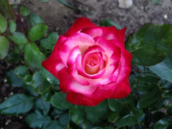 One of my newest roses - Baldo Villegas, a mini-flora. Growing very well for a first year rose. http://t.co/VxjRJt36ue