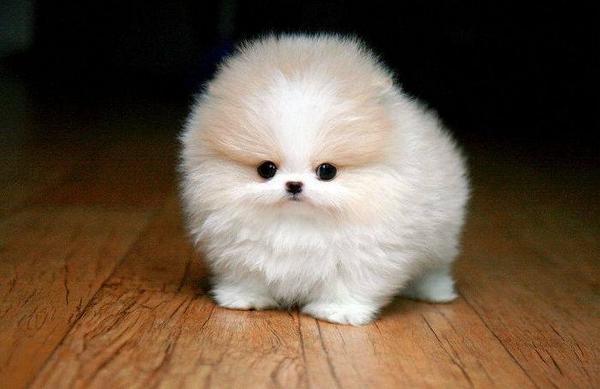 Teacup Pomeranian Puppy http://t.co/IoqO9HysYs