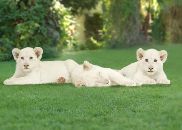 Announcing our pride and joy: three white lion cubs! Visit Madiba, Timba-Masai and Freedom at the Secret Garden! http://t.co/0HhYL4pkNz