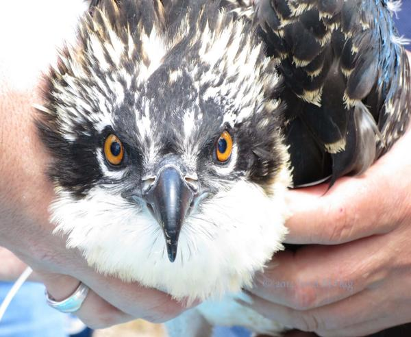 @stephenclark We were so happy to have media coverage of this @MichiganDNR project  #Osprey #backchannel http://t.co/RyR9fEazSS