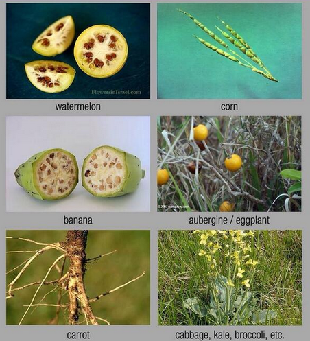What would our favorite crops look like without human intervention? https://t.co/RkNbkA43z3