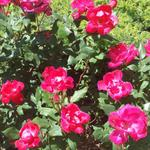 Beautiful Summer roses to celebrate August #summer #nyc #brooklyn #Greenpoint #brooklyn #Williamsburg http://t.co/sTe1DSJMc3