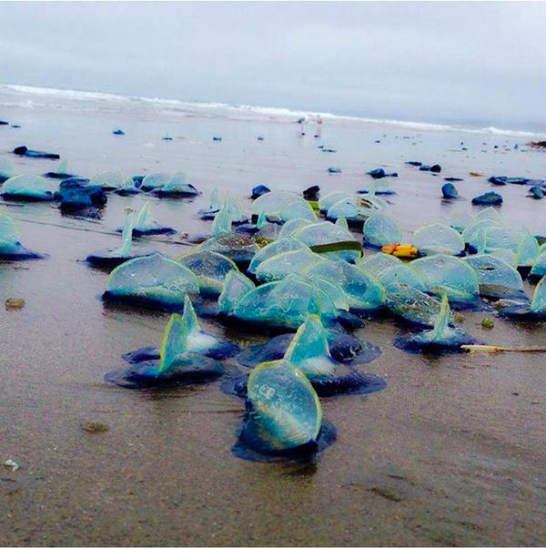 サンフランシスコのOcean Beachに流れ着いた謎の物体、、、、、SFweekley http://t.co/ONOBXjwW5p Velellaといういきものらしいです。 http://t.co/lVvdevy5wp