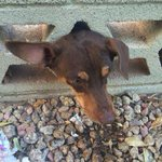 RT @12News: Phoenix firefighters rescue dog stuck in wall overnight in southwest Valley neighborhood. http://t.co/NiQX1jwKZ8 http://t.co/WRc0nZyYyI