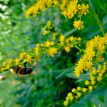 late July #phenology -Early Goldenrod blooming along cottage country roads @kawarthaNOW A hint of fall. http://t.co/CJqE6gLh6S