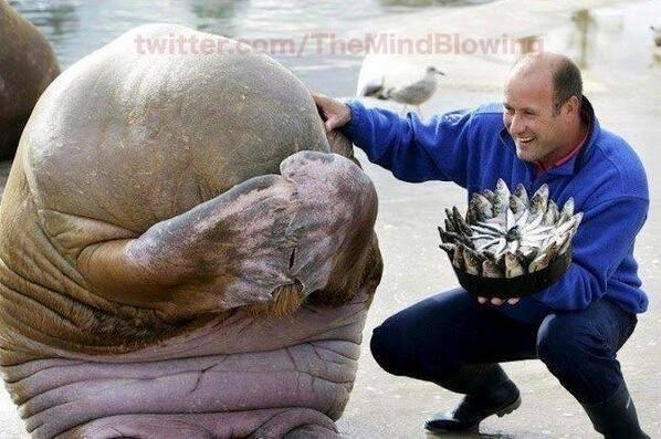 A Walrus' reaction after being presented with a fish cake for his birthday! http://t.co/sPGDSXyqUt
