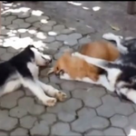not all mans inhumanity to dogs is in #Vietnam, RT @GlobalPost: http://t.co/LEkRN8bdKw: http://t.co/mg1h9ihVl8 http://t.co/TGlkDqkLps #Bali