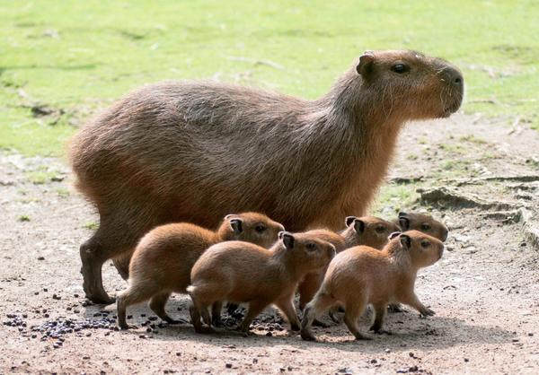 Five Baby Capybaras Born at Zoo Berlin http://t.co/fOCvAUARj5 http://t.co/5kZQhKEWAl