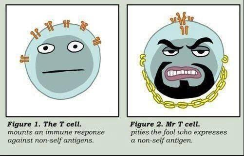 Love this (Mr) T cell figure. Rumor $KITE $JUNO are engineering Mr T's as CARs http://t.co/ut4iscRot2 HT @rpg7twit @UCL_AMS @LinnaeusCarl