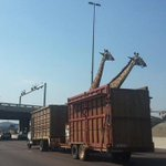South African giraffe dies after it reportedly hit its head on a bridge http://t.co/XLHa2wIUaN http://t.co/KLTvP1O7cV