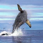 RT @hankarmstrong: Big and beautiful! Whales are good, and good for #Monterey business. @SeeMonterey http://t.co/GyJdSuE8XP http://t.co/eKJ10GXaqz