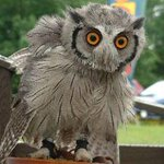 Meet Otis the Whitefaced Scops Owl and friends on the Flag Market tomorrow between 11am-3pm. http://t.co/MI09K6xUzS http://t.co/o6QVPyhIP5