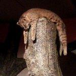 昨日行った日本平動物園で爆睡していた山猫さんw http://t.co/PrGEqlcmVi