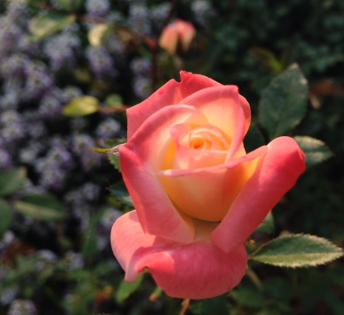 X-rated miniature rose in my garden this morning. http://t.co/rMylSxgIZ2