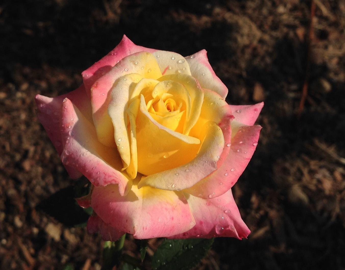 Bee's Knees miniature rose is new to my garden. Loving it already. #gardenchat #rosechat http://t.co/iqCESckDAM