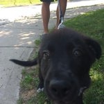 Met this little guy just learning to walk, say hi to Gus! #DogsofLdn #LdnOnt #cutest http://t.co/IfQP4PrLkx