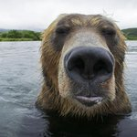 Brown bears hunt salmon - wildlife photographer gets closer than ever: http://t.co/g0ssYLh6Gm (Pic: Michel Roggo/Rex) http://t.co/1erEzKcfNL
