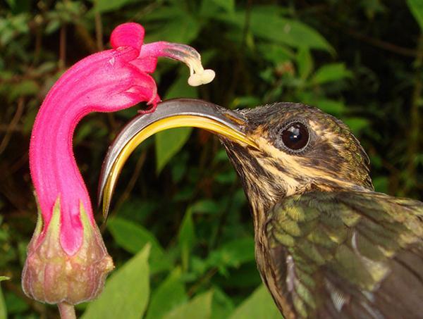 'Cruel flower' (genus Centropogon) bent the beak of the buff-tailed sicklebill hummingbird. http://t.co/m9LA3xx8Sj http://t.co/2rLfsttC40
