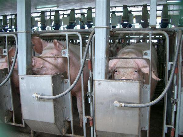 ほぼすべての哺乳動物が友情をはぐくむことが知られています。豚も仲間と親和関係をむすび、社会生活を営む生き物です。しかし、この檻の中で豚たちはほかの豚と触れ合うことすらできません。 #妊娠豚檻 http://t.co/1ekULjlbTW