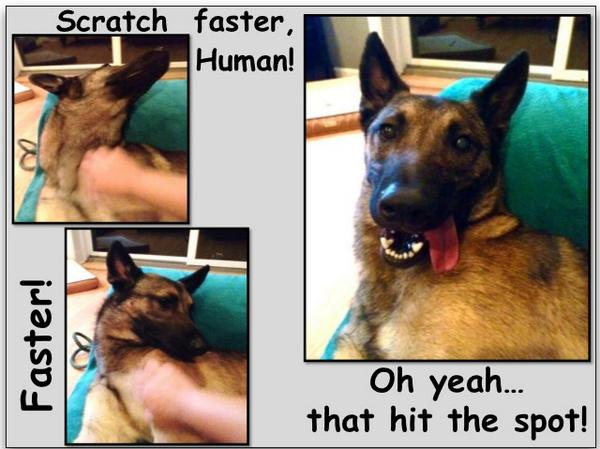 Scratch faster, human! Scratch faster! 😜 @iLoveDogsInc @dogs @caninepeace @Daisylvr143 @MTShep http://t.co/ZGYxvDl04v