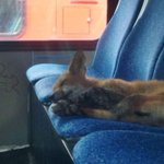 RT @CBCOttawa: A story on the fox who took a nap on an @OC_Transpo bus and stole our hearts. http://t.co/WSBrxSgbtT #cbcOTT #OTTnews http://t.co/NXhkcBEmVN