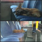 Sometimes a fox just needs a nap. @ctvottawa #OCTranspofox #whatdidthefoxsay #ottnews #busfox http://t.co/mx6E2iGv32