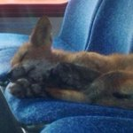Hope our AC @OC_Transpo riders are as relaxed as this little guy on the a.m. commute #busfox http://t.co/8rzMkW4rSF http://t.co/JcKj7M2jhc