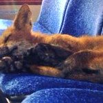 "Fox found napping on Ottawa bus. It snuck on while bus was parked at a garage. Fox left on its own following nap,"" http://t.co/7sHNSKcPCC"