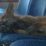 What does the fox... dream? Wee critter found snoozing on Ottawa bus. http://t.co/D9e8pq7R5d http://t.co/RdSNIeTYMg