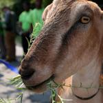 RT @BostonGlobe: More photos of goats helping to clear parts of Boston overrun with poison ivy http://t.co/uJEK9hFX0f http://t.co/pgnSQdW1rh