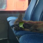 #busfox is too cute. He even paid for the trip. #ottnews @ctvottawa #whatdoesthefoxpay http://t.co/ugpuMnYFta