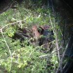 RT @NadiaKGBT: UPDATE: The Starr County Bear is real! Game Wardens notified me they spotted the bear today & snapped a pic @kgbt http://t.co/gL7QBH6Mpo