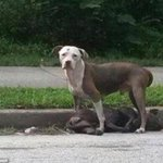 Loyal terrier stands guard over dying friend hit by car http://t.co/Hb5Vz7r9RU http://t.co/gGcCj4Wo4R