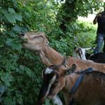 I WANT TO MEET THESE GOATS MT @BostonGlobe: Boston has enlisted goats to clear poison ivy http://t.co/5qSOzFDTEu http://t.co/AsZlwxtl3x