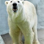 RT @hallamfmnews: Yorkshire Wildlife Park will soon be home to Englands only polar bear. 15 year old Victor will arrive next month http://t.co/08j7c6haUK
