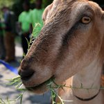 RT @BostonGlobe: Boston has enlisted goats to clear an area overrun with poison ivy http://t.co/UwEjChHSjj http://t.co/DlN1rIpSrM