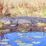RT @cityftmyers: 88° Florida gators can grow over 13 feet and weigh more than 1,000 lbs! #fortmyers #alligator http://t.co/mn1fGU04h7