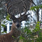 RT @pablo069eh: The buck stopped here today at 2020 … the stud of Mt Tolmie #yyj @YYJSelect in my backyard. http://t.co/c2Qp1PEmTU