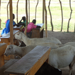 RT @DailyMonitor: Pupils of Kyehoro Primary School in Hoima share class with sheep and goats: http://t.co/kUfSzeG0Ef http://t.co/xqn40Qtedx