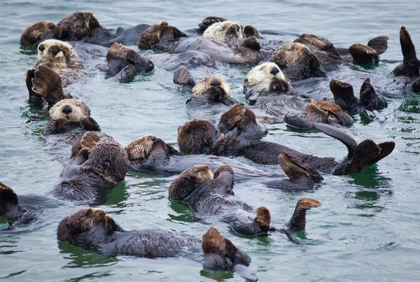 Sea Otters In Prince William Sound Back to Pre-Exxon Valdez Oil Spill Numbers  ~ http://t.co/Dj85c4fTUH #environment http://t.co/8ryv3oqL0i