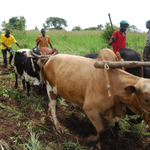 RT @DailyMonitor: Thugs kill cattle distributed under restocking programme: http://t.co/ih5pzc5aYH http://t.co/7Fpzp4pKZd