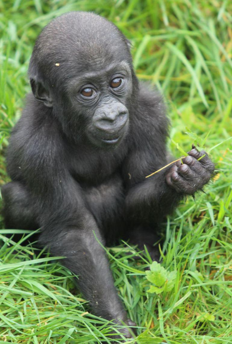 """This is Kibibi, """"Little Lady"""" in Swahili. She was born in March at the Belfast Zoo!  From ZooBorns. http://t.co/xdqK0UdRKC"""